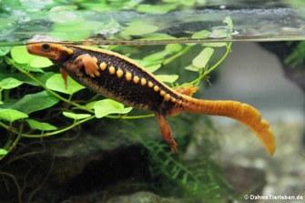 Birma-Krokodilmolch (Tylototriton verrucosus)