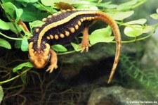 Geknöpfter Birma-Krokodilmolch (Tylototriton verrucosus) im Kölner Zoo
