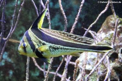 Gebänderter Ritterfisch (Equetus lanceolatus)