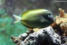 Samtdoktorfisch (Acanthurus nigricans) im Kölner Zoo