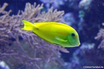Orangefleck-Doktorfisch (Acanthurus olivaceus)