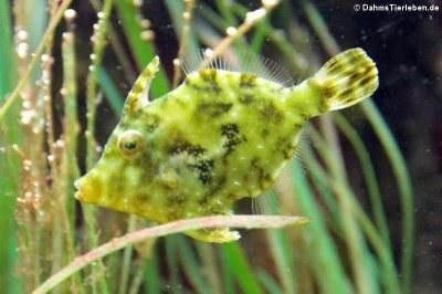 Seegras-Feilenfisch (Acreichthys tomentosus)