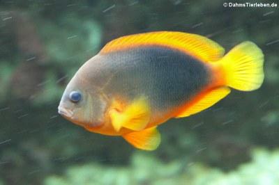 Glühkohlen-Anemonenfisch (Amphiprion ephippium)