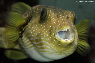 Weißflecken-Kugelfisch (Arothron hispidus)