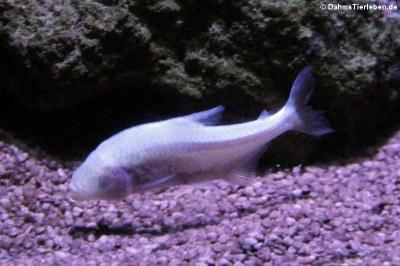 Blinder Höhlensalmler (Astyanax jordani)