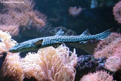 Korallen-Katzenhai (Atelomycterus marmoratus)