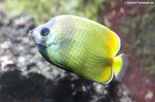 Kleins Falterfisch (Chaetodon kleinii) im Kölner Zoo