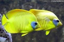 Maskenfalterfische (Chaetodon semilarvatus) im Kölner Zoo