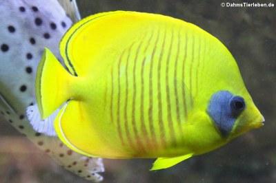 >Maskenfalterfisch (Chaetodon semilarvatus)