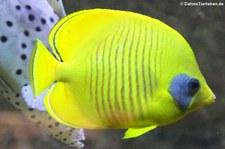 Maskenfalterfisch (Chaetodon semilarvatus) im Kölner Zoo