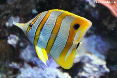Kupferstreifen-Pinzettfisch (Chelmon rostratus)