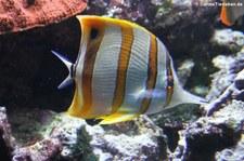 Kupferstreifen-Pinzettfisch (Chelmon rostratus) im Kölner Zoo