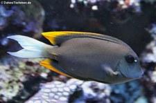 Tomini-Borstenzahndoktorfisch (Ctenochaetus tominiensis) im Kölner Zoo