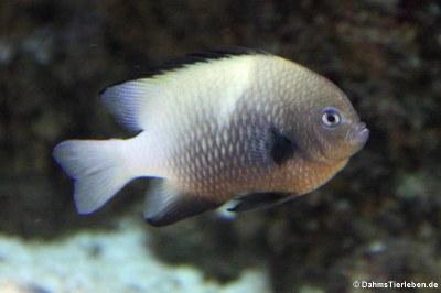 Rotmeer-Preußenfisch (Dascyllus marginatus)
