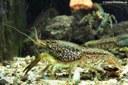 Tropischer Flusskrebs
