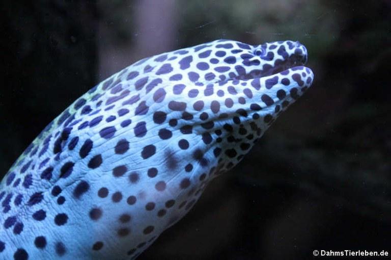 Gymnothorax favagineus