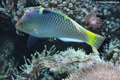 Schachbrett-Lippfisch (Halichoeres hortulanus)