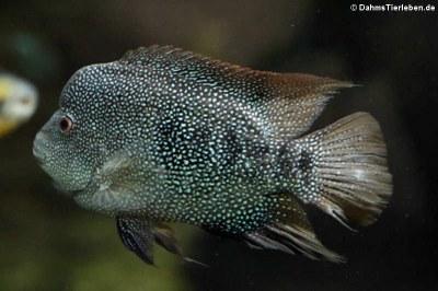 Perlbuntbarsch (Herichthys cyanoguttatus)