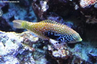 Macropharyngodon bipartitus