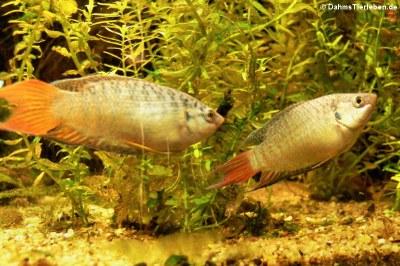 Paradiesfische (Macropodus opercularis)