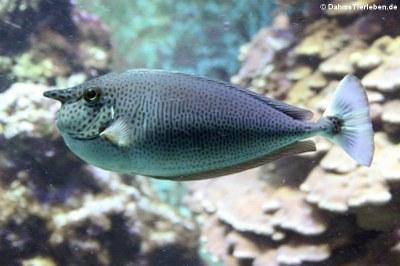 Langnasen-Nasendoktorfisch (Naso brevirostris)
