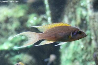 Feenbuntbarsch (Neolamprologus pulcher)