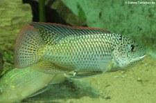 Westafrikanischer Maulbrüter (Oreochromis schwebischi) im Kölner Zoo