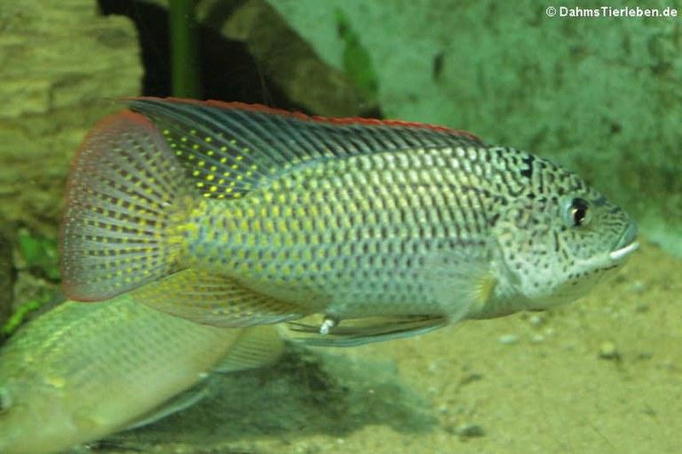 Oreochromis schwebischi