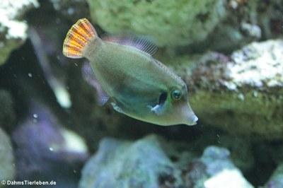 Höhlenfeilenfisch (Pervagor janthinosoma)