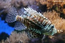 Pazifischer Rotfeuerfisch (Pterois volitans) im Zoo Köln