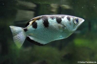 Schützenfisch (Toxotes jaculatrix)