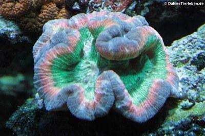 Steinkoralle der Gattung Trachyphyllia