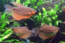 Mosaikfadenfisch (Osphronemus goramy) im Kölner Zoo