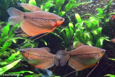 Mosaik-Fadenfische (Trichogaster leerii)