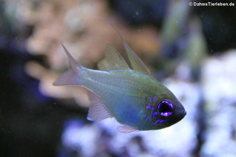 Zoramia leptacantha