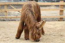 Poitou-Esel im Kölner Zoo