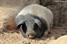 Schwäbisch-Hällisches Landschwein im Kölner Zoo