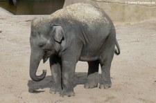Asiatischer Elefant im Kölner Zoo