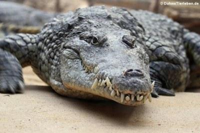 Nilkrokodil (Crocodylus niloticus)