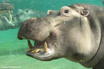 Hippopotamus amphibius (Flusspferd) im Portrait