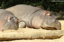Flusspferd (Hippopotamus amphibius) im Zoo Köln