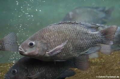 Oreochromis niloticus (Nil-Buntbarsch)