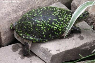 Pelusios castaneus (Pelomedusenschildkröte)