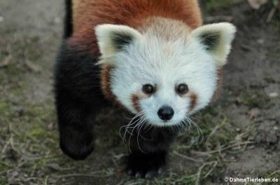 Westlicher Kleiner Panda (Ailurus fulgens)