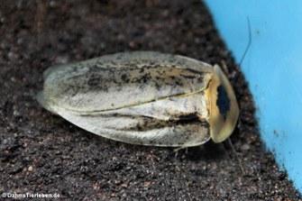 Totenkopfschabe (Blaberus craniifer)