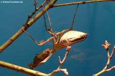 Totes Blatt (Deroplatys desiccata) im Kölner Zoo