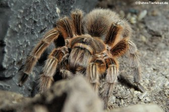 Rote Chile-Vogelspinne (Grammostola rosea)