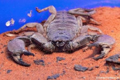 Dünnschwanz-Skorpion (Hadogenes bicolor)