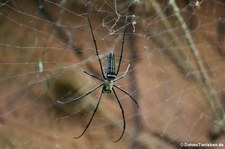 männliche Seidenspinne (Nephila pilipes) im Kölner Zoo