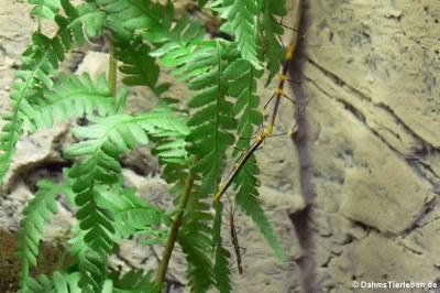 Oreophoetes peruana (männlich)